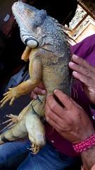 IMG_20151209_144911 (estradelirius) Tags: iguana garrobo