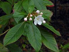Luculia pinceana Hook. 1845 (RUBIACEAE) (helicongus) Tags: luculiapinceana luculia rubiaceae jardínbotánicodeiturraran spain