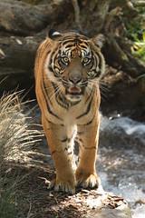 Joanne (ToddLahman) Tags: joanne exhibitc sandiegozoosafaripark safaripark canon7dmkii canon canon100400 tigers tiger tigertrail sumatrantiger escondido water