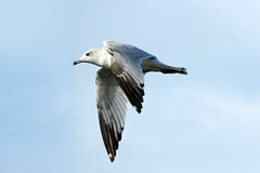 Ring billed gull (Black Hound) Tags: sony a500 minolta johnheinznwr johnheinznationalwildliferefuge gulls ringbilledgulls