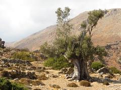 Loutro. (~Ingeborg~) Tags: meinge greece griekenland loutro mountains hot heet bergen oudeolijfboom oldolivetree olivetree rotsen rocks stilte silence sfeer atmosphere crete kreta