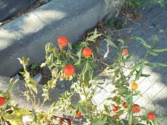 322 (en-ri) Tags: bacche sony sonysti arancione vaso aiuola piantina