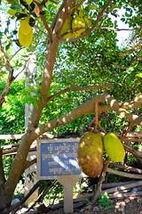 Kampong Cham to Hanchey 11 (gevans999) Tags: kampongcham hanchey cambodia asia mekong jackfruit
