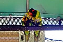 Lorikeets Preening Each Other (--Anne--) Tags: bird birds nature wildlife animals colorful lorikeets preening