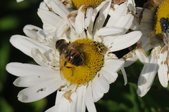 fly, beetle, fly (caboose_rodeo) Tags: 154 flyinginsect flowers bayleybeachrowaytonct insect sharing favorite stripes dots