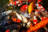 Koi, Katsuo-ji (Eric Flexyourhead) Tags: mino minoo minoh minoshi 箕面市 osaka 大阪 kansai 関西地方 japan 日本 katsuoji 勝尾寺 temple buddhist buddhism water pond fish carp koi 鯉 colourful vibrant vivid orange gold ricohgr 金鯉
