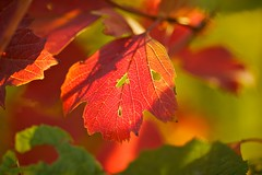 Red (Future-Echoes) Tags: 4star 135mm 2011 autumn bokeh depthoffield dof leaf red veins