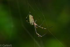 golden orb-web spider (Gogolac) Tags: goldenorbwebspider republicadominicana dominicanrepublic nikond7100 santodomingo araa jardinbotanicodesantodomingo