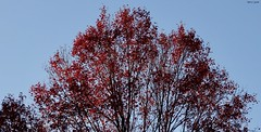 Peaking Crimson (Harry Lipson) Tags: tree branches leaves red scarlet crimson canopy arboreal harrylipson harrylipsoniii