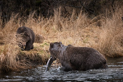Fish For Breakfast (rishaisomphotography) Tags: kodiak alaska grizzly brownbear sow cub water river fish fishing nature naturephotographer wild wildlifephotography dinner lunch sushi