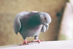 Pidgey, pigeon #bird (Ravinepz) Tags: bird photography amazing pidgey pigeon kabutar delhi india lajpat nagar beautiful canon 250mmlens