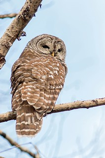 Chouette rayée, Strix varia, Northern Barred Owl