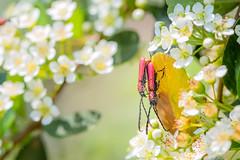 Mating Beetles (Sharleen Chao) Tags: marcomondays macro canon 5dmarkiii 100mm 微距 細樟紅天牛 pyresteslongicollis taiwan taoyuan day outdoor insect 台灣 昆蟲 桃園 巴陵 beetles mating 台灣火刺木