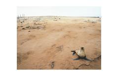 seal!, skeleton coast (jeffasteinberg) Tags: namibia skeletoncoast sand beach africa swakopmund seal sealcolony capecross travel analog kodak portra400 mamiya645af mediumformat 120 color
