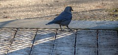 WhatsThat? (Tony Tooth) Tags: nikon d7100 nikkor 55300mm bird jackdaw hdr frost frosty shadow paviliongardens buxton derbyshire