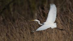 Silberreiher 016 (bertheeb) Tags: silberreiher reiher wasservogel