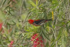 Scarlet Honey Eater (ZapGaspix) Tags: 03122016 copyrightpaulthompson scarlethoneyeater canon 60d lakemacquarie australia