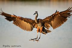 coming in for landing (Gaby Swanson, Photographer) Tags: bird heron nature birds outdoors photography wings lakeerie pennsylvania landing erie presqueisle eriepa southpierineriepa