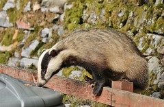 sitting on the fence (Suzie Noble) Tags: wall garden mammal peanuts badger vole sunflowerseeds voles bankvole stonedyke strathglass struy