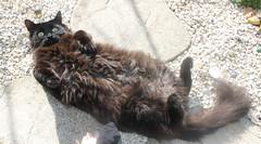 surprise cat (Greta Dark) Tags: cat fluffy stranger patio gravel gardenblack