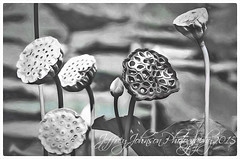 JDJ_8277 (Jeffrey Johnson ~~jupitersolo) Tags: blackandwhite flower water seedhead lotusflowers