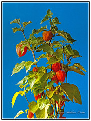 The Splendid Autumn Colours of the Chinese Lantern Plant  -  Physalis alkekengi (Bill E2011) Tags: flowers autumn orange nature canon colours bright chinese vivid lantern chineselantern herbaceous