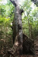 Kapok Tree (daveynin) Tags: plant tree flora nps trail tropical usvi subtopical deaftalent deafoutsidetalent deafoutdoortalent