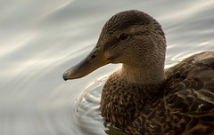 Hiding under the bridge (markupnorthcanada) Tags: bridge portrait brown lake ontario canada bird water face yellow closeup female duck nikon wildlife beak mallard lakeontario nikkor 70300 portcredit d7100