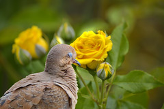 Sleeping Beauty (swong95765) Tags: sleeping bird beauty wonderful bush pretty bokeh dove feathers tired napping lovely