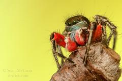 20150509-IMG_3462 (Sean McCann (ibycter.com)) Tags: spider bc jumpingspider salticidae islandviewbeach habronattus habronattusamericanus salitcidae