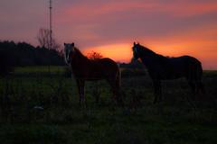 20111022-DSC_0077 (nomanson) Tags: horse sunrise denmark pico dk arabian colt icelandic baldur rslev