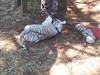 20150919_115813 (mjfmjfmjf) Tags: oregon zoo tigercub 2015 greatcatsworldpark