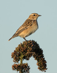Whinchat - Saxicola rubetra (Gary Faulkner's wildlife photography) Tags: whinchat newhaventidemills sussexbirds