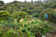 Flores PR1 (jmonhof) Tags: flores hiking wandern caminho hedychiumgardnerianum gingerlily conteira zieringwer