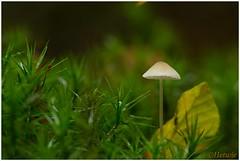 klein paddestoeltje (7D032320) (Hetwie) Tags: autumn tree fall mushroom bomen forrest herfst nederland toadstool bos paddestoel gelderland drie speulderbos spielderbos