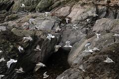 'Assorted' Gulls, Wembury Bay (carolemason) Tags: devon wemburybay birdchurchwoodvalleygull