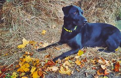 Labrador cross German Shepherd lying in the Autumn leaves and hay Dog Dogs Labrador German Shepherd Autumn Autumn Colors Autumn Leaves Leaves Fall Fall Beauty Fall Colors Hay Farm Farm Life (Raven Photography by Jenna Goodwin) Tags: autumn dog fall dogs leaves labrador farm fallcolors autumnleaves autumncolors hay germanshepherd farmlife fallbeauty