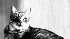 Brivido 2 (sandra_simonetti88) Tags: cats cat chats chat katze gatto katzen gatti