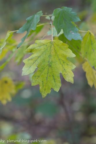 Sear leaf