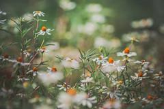 Dainty (Elizabeth_211) Tags: flowers white nature garden flora bokeh tennessee jacksontn westtn sherielizabeth