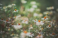 Dainty (Elizabeth_211) Tags: flowers white nature garden flora bokeh tennessee jacksontn westtn utgardensjackson sherielizabeth