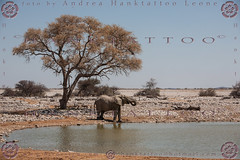 NAMIBIA 2015 @ 02 - 5309 (hanktattoo) Tags: africa park wild moon elephant nature animal animals rock landscape bush sand paint desert leo harbour african wildlife lion mother sandwich national valley tropic dust namibia etosha solitaire capricorn engravings sossusvlei panthera 2015 elefanti albedo damaraland allaperto twfelfontein eleante