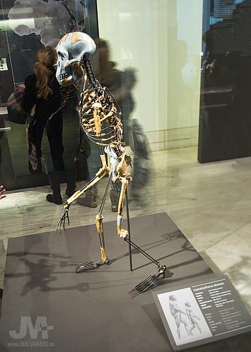 Nacional Afarensis Australopithecus Nacional Museo Museo Museo Arqueologico Nacional Arqueologico Australopithecus Afarensis Arqueologico qcAjR543L