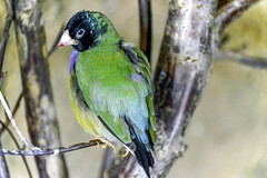Black-Faced Gouldian Finch (C. P. Ewing) Tags: black color bird birds animals colorful finch finches faced gouldian