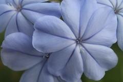 IMG_0010 - Copy (jtkramer@ymail.com) Tags: blue flower plumbago leadwort