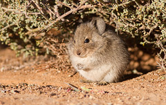 Bush Karoo Rat (Otomys unisulcatus) (George Wilkinson) Tags: bush karoo rat otomys unisulcatus goegap nature reserve northern cape south africa vlei groovetoothed