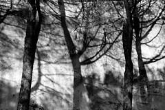 Silence in everywhere... (modestino68) Tags: bn bw alberi trees ombre shadows euphoria