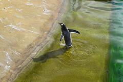 Wading (Bebopgirl1969) Tags: penguin edinburghzoo