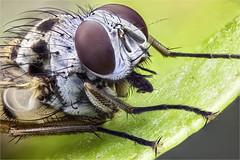 Anthomyiidae, Anthomyia sp (dorolpi) Tags:
