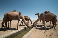 Maranjab Desert (MadGrin) Tags: geo:lon=5166804600 desert isfahan iran irn camelli maranjabdesert geo:lat=3426267600 chhtaq camels animals aminali maranjab geotagged deserto chhtaq